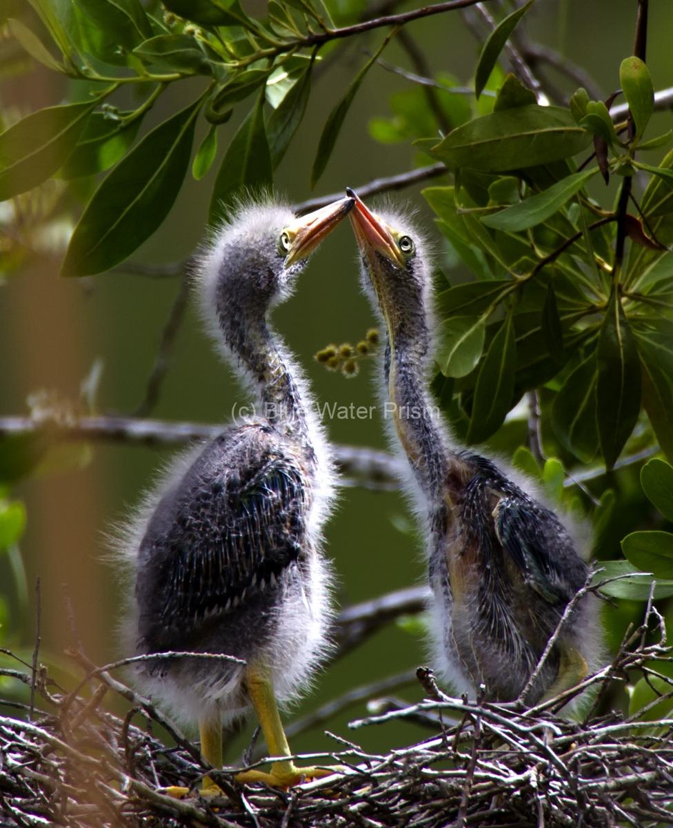 Blue Heron Pair