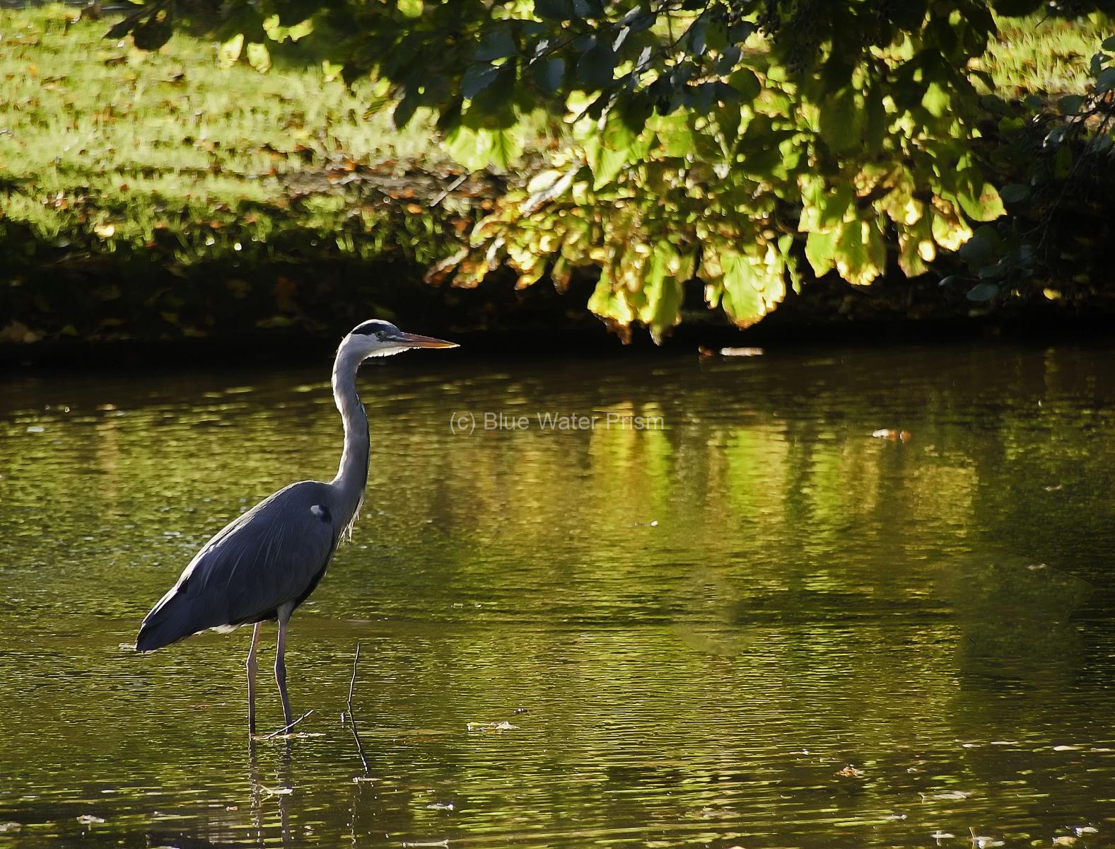 Grey Heron in Vondelpark Amsterdam