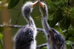 Blue Heron Pair