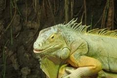 Arizona Iguana