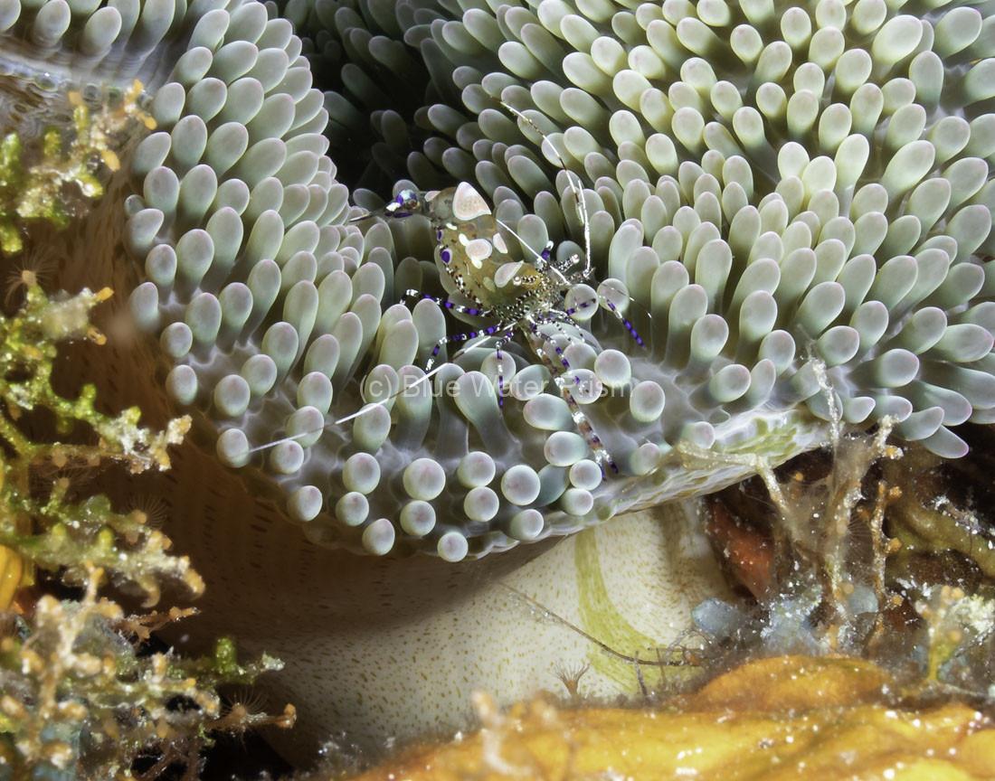 C0721_Spotted-cleaner-shrimp_AP9A8454-Edit