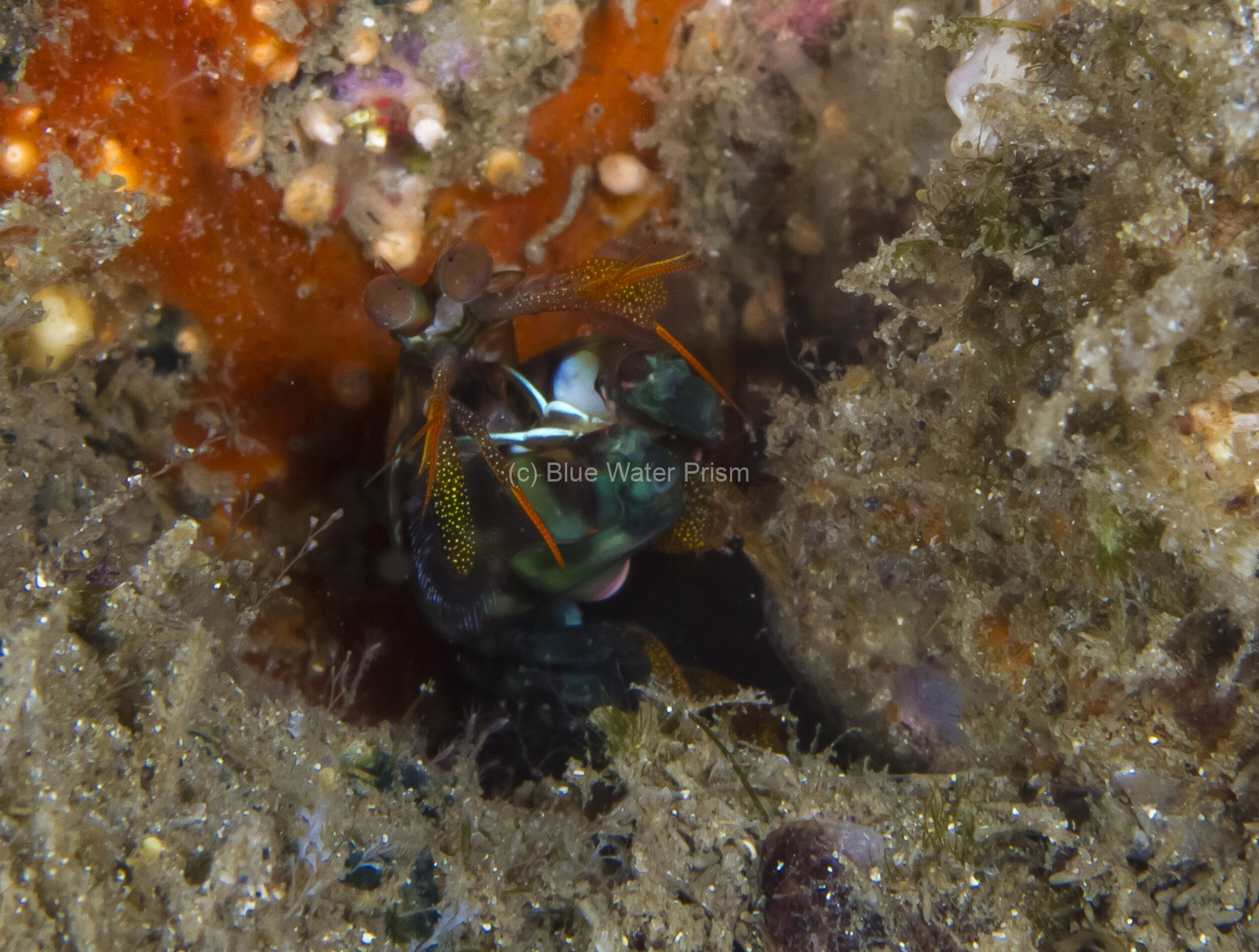 Mantis shrimp in coral hole