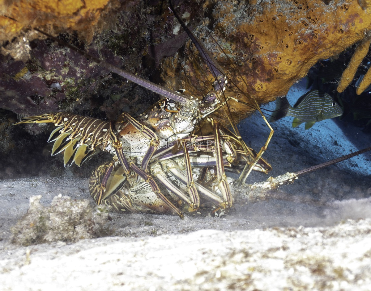 Caribbean lobsters mating