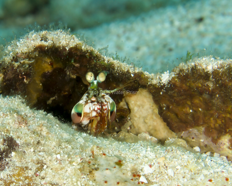 Mantis shrimp in coral hole