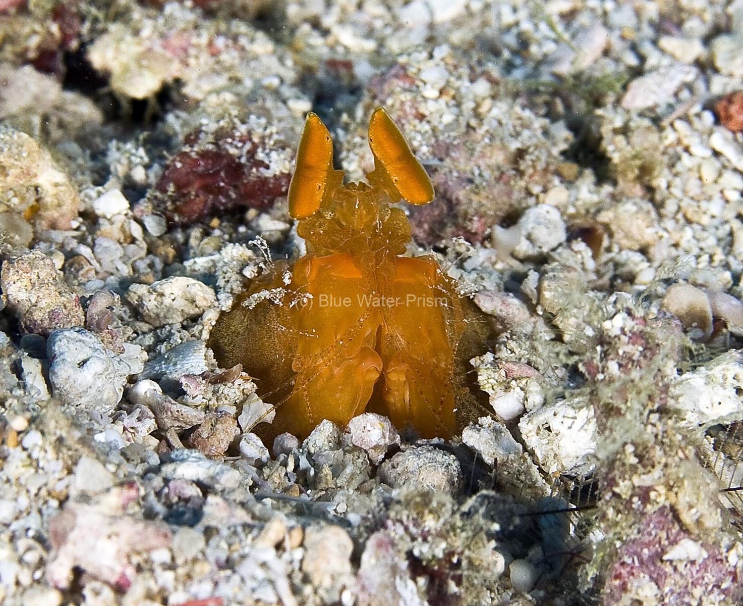 Fiji mantis shrimp