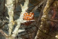 Gaudy Clown Crab on hard coral stalk