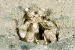 Reef Mantis Shrimp in hole in sand