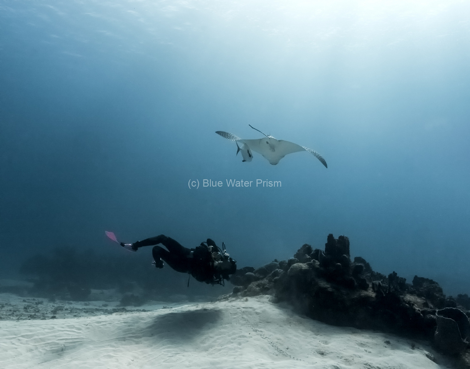 Diver and spotted eagle ray in Cozumel