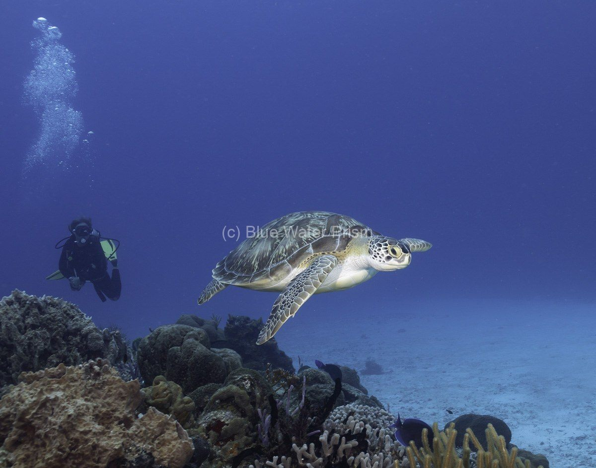 Diver and green turtle in Cozumel
