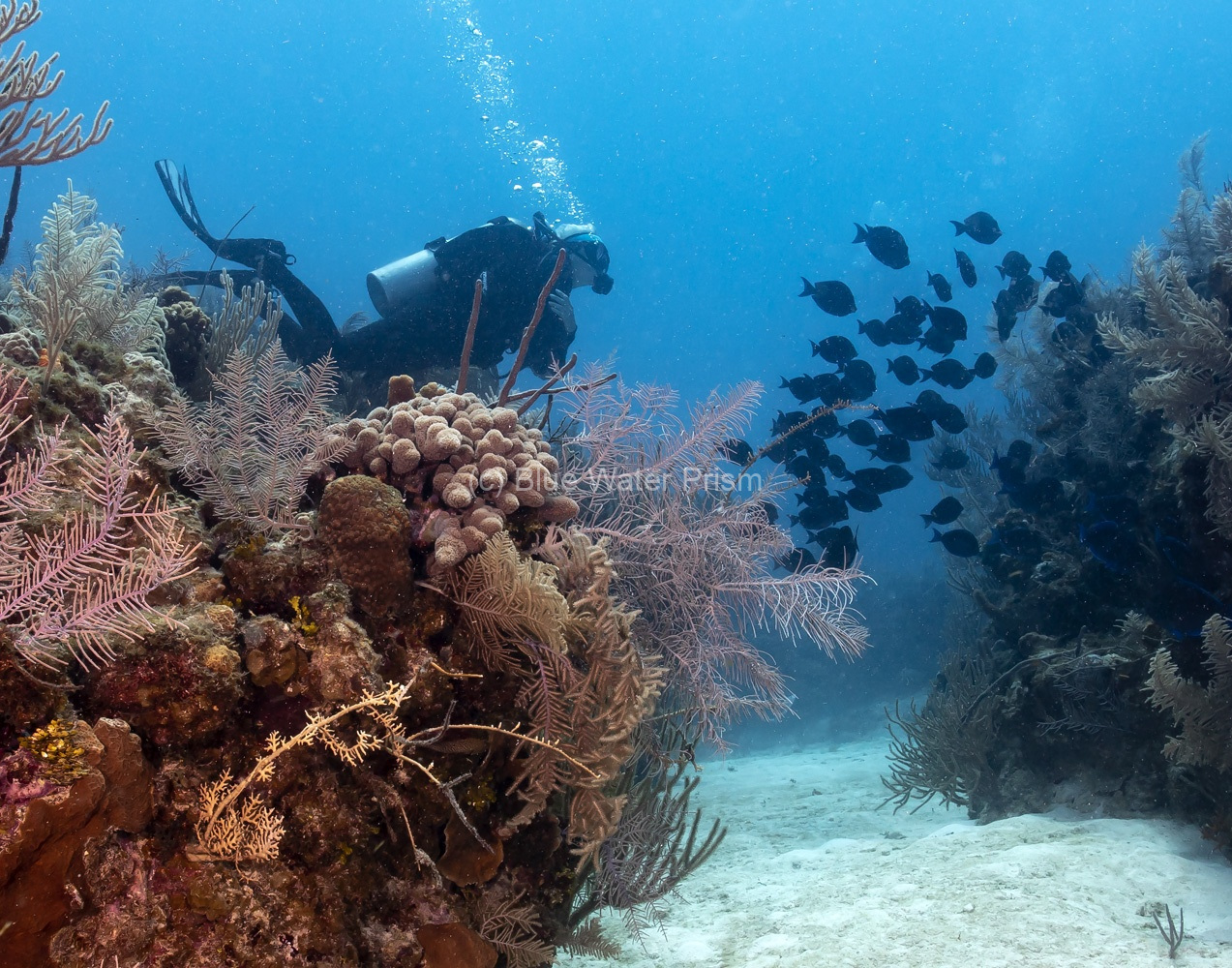 Diver and school of fish on reef in Grand Cayman