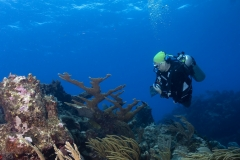 Diver on reef in Grand Cayman viewing staghorn coral