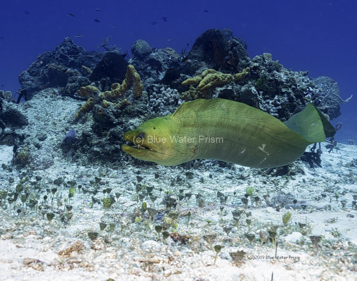 Green Moray Eel swimming on Cozumel reef