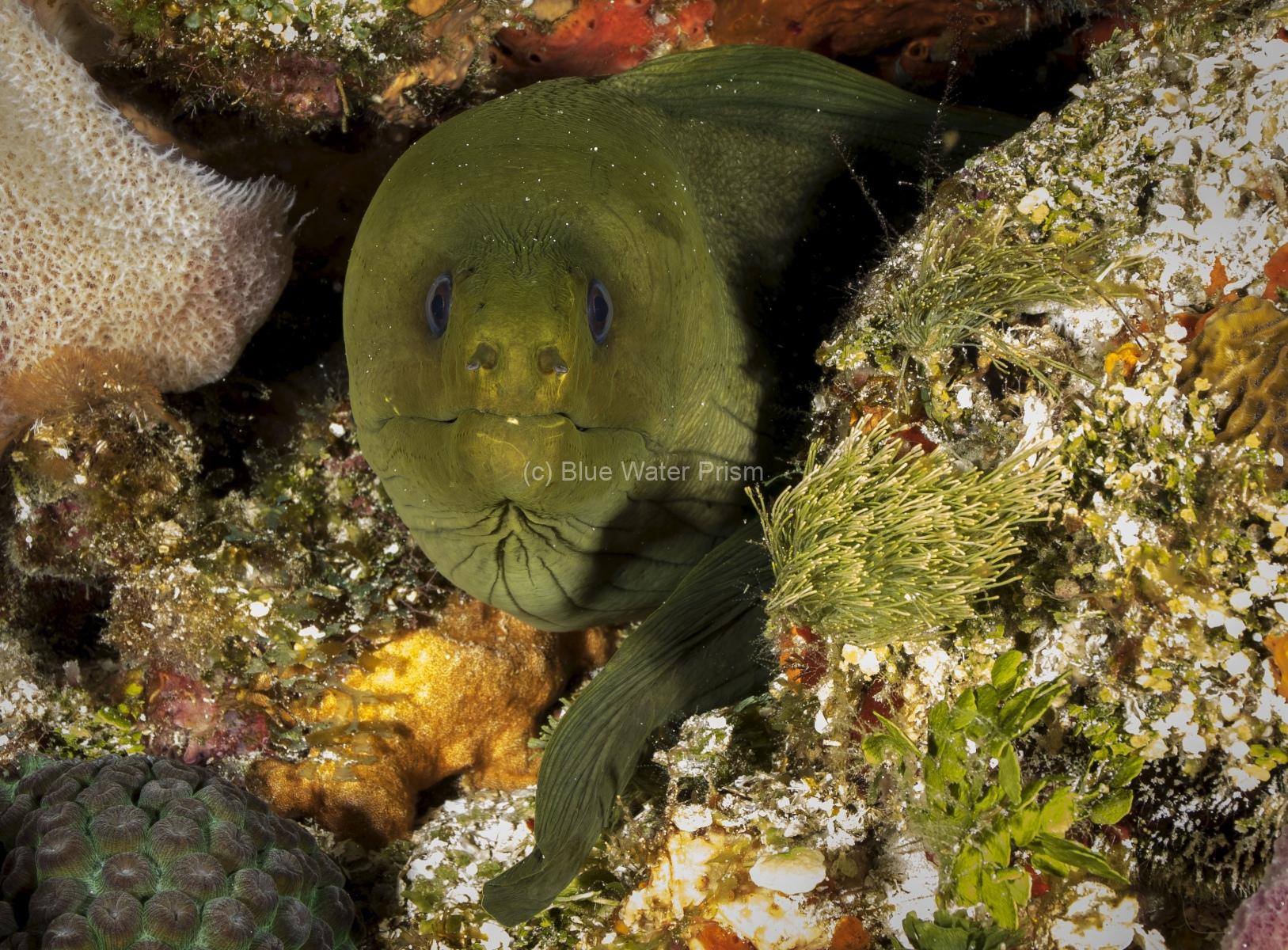 Green Moray Eel in Cozumel reef