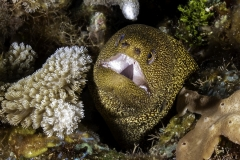 Goldentail Moray Eel in Cozumel reef