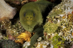 Green Moray Eel in Cozumel reef