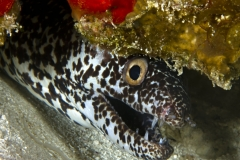 Spotted Moray Eel in Cozumel reef