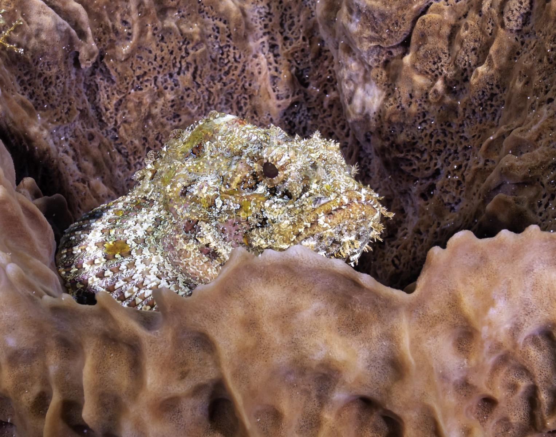 Scorpionfish in sponge