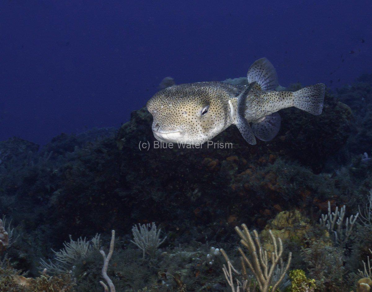 Baloonfish in Cozumel