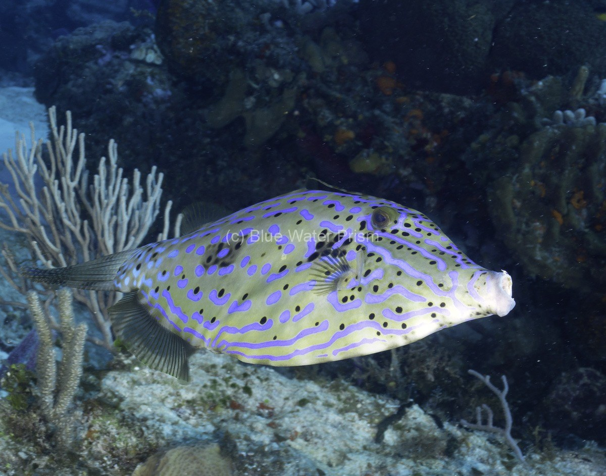 Scrawled filefish in Cozumel