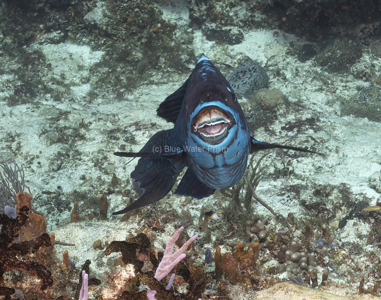 Midnight Parrotfish in Cozumel