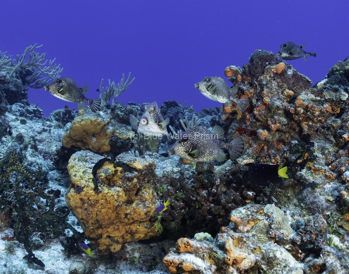 School of trunkfish in Cozumel