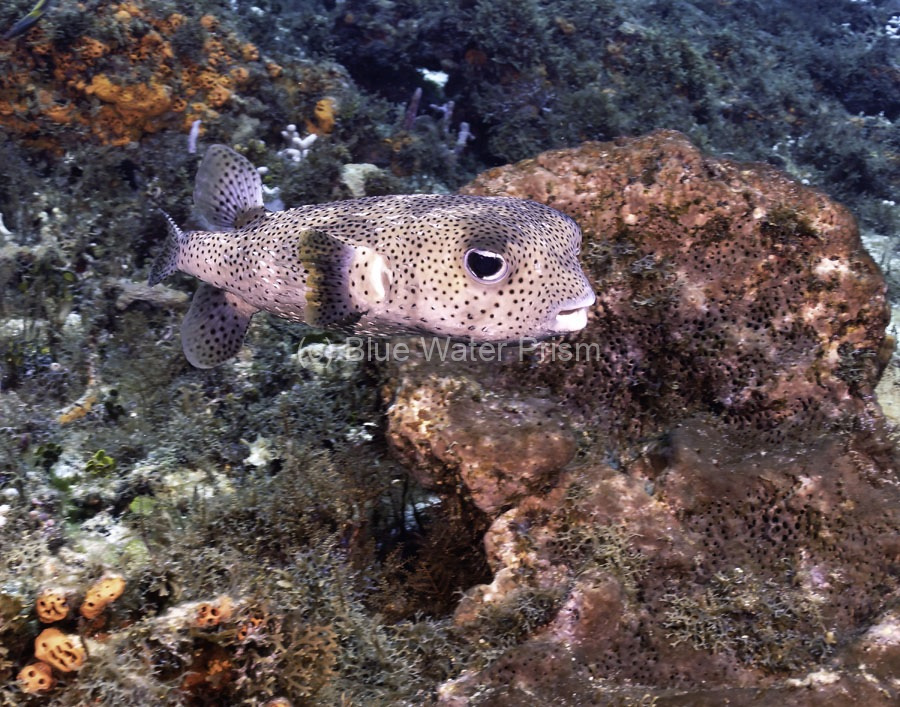 Porcupinefish in Cozumel