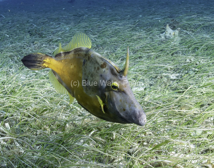 White spotted filefish in Cozumel