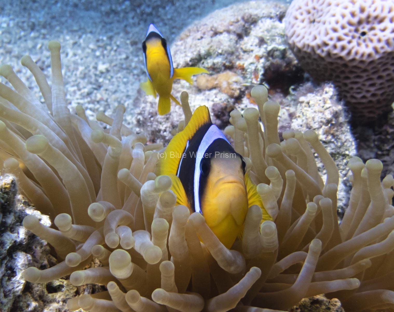 Clownfish in Eilat