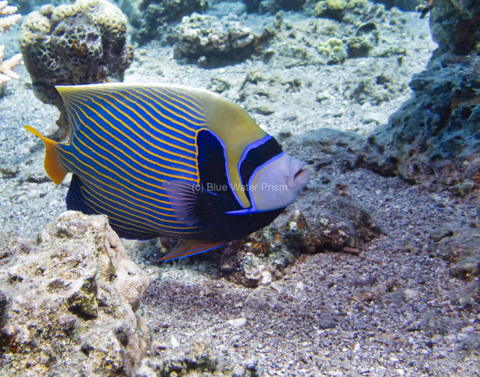 Emperor Angelfish in Eilat