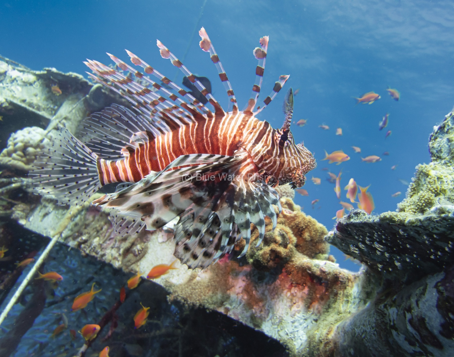 Lionfish on wreck in Eilat