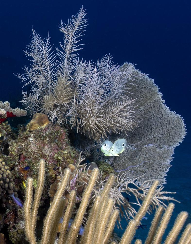 Four eye butterflyfish on reef in Grand Cayman