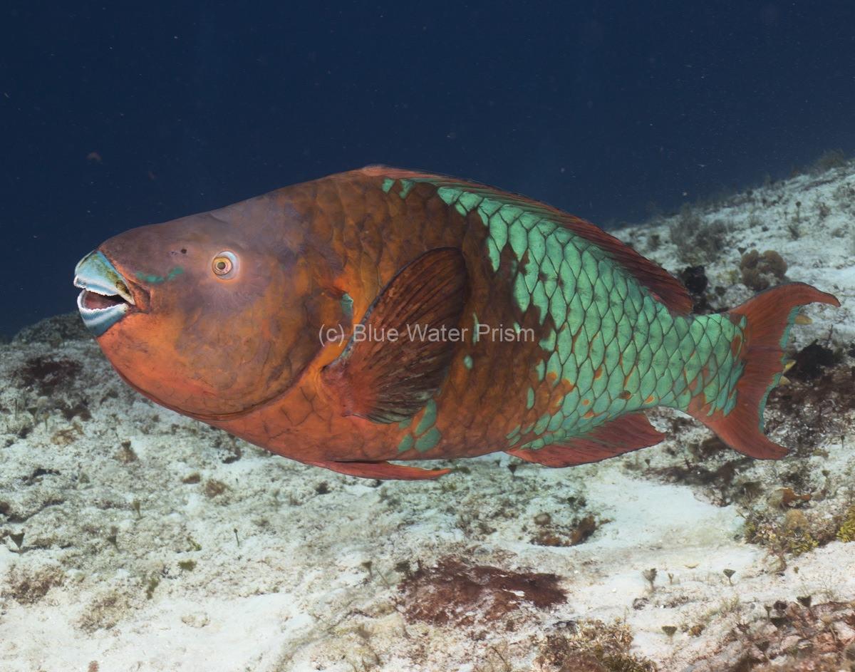 Rainbow parrotfish in Cozumel