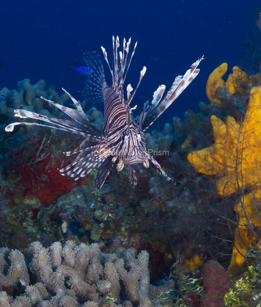 Lionfish looking for food