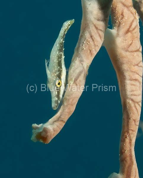 Juvenile Filefish
