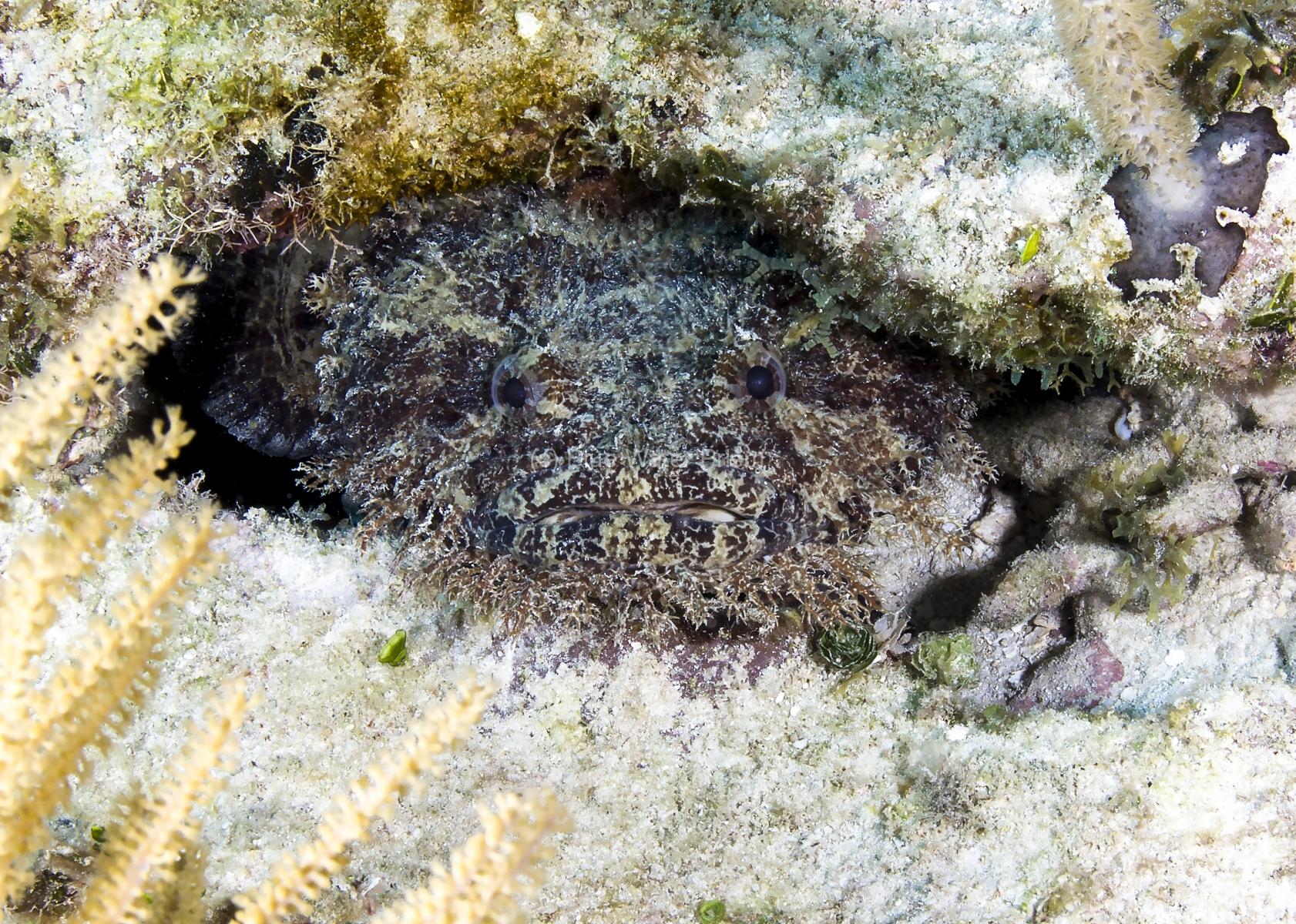 Large Eye Toadfish