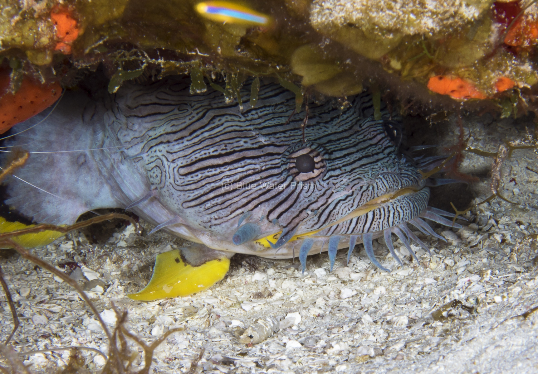Splended Toadfish in Cozumel