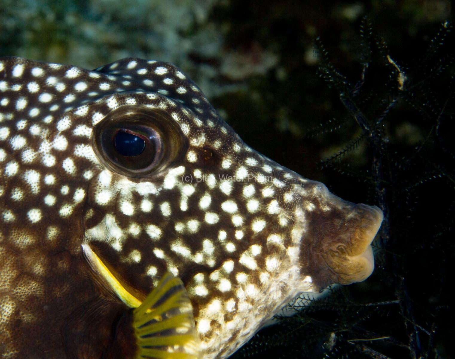 Trunkfish up close