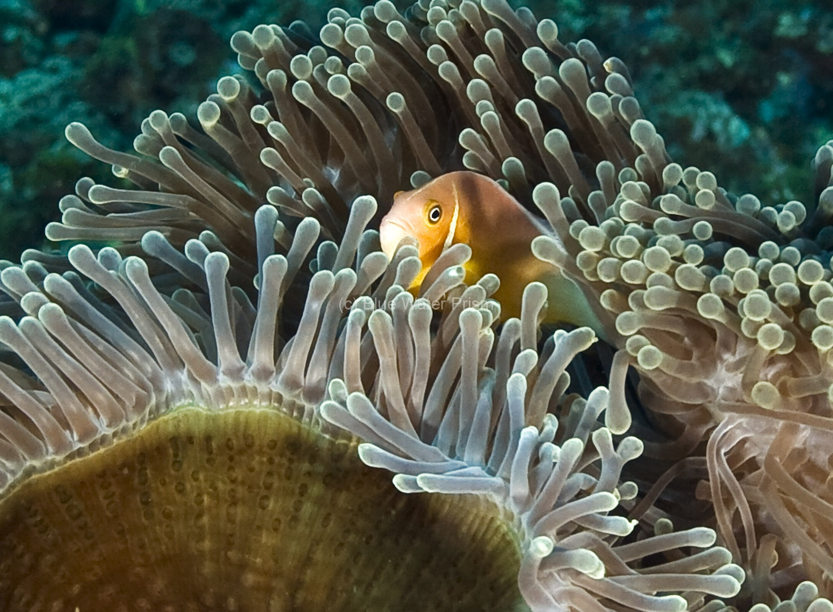 Anemonefish hiding in anemone on Fiji