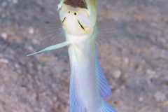 Male  Yellowhead Jawfish with eggs in mouth