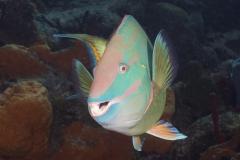 Stoplight parrotfish in Cozumel