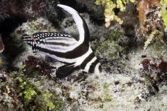 Adult drumfish in Cozumel