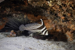 Adult spotted drumfish in Cozumel