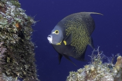 French angelfish in Cozumel