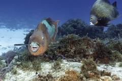 Rainbow parrotfish and French angel fish on Cozumel reef