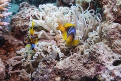 Clownfish in Eilat
