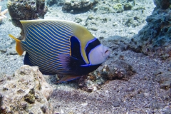 Emperor Angelfish in Eilat