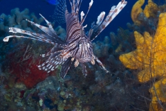 Lion Fish looking for food