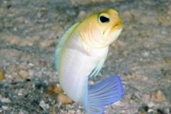 Female Yellowhead Jawfish