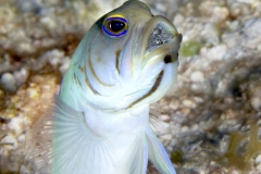 Jawfish with eggs in Cozumel