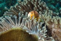 Anemonefish hiding in anemone on Fiji